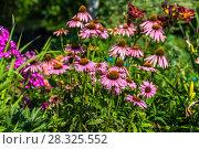 Купить «Цветы эхинацеи в саду (Caneflower - Echinacea)», фото № 28325552, снято 3 августа 2014 г. (c) Ольга Сейфутдинова / Фотобанк Лори