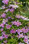Купить «Клематис крупноцветковый на шпалере 'Piilu' (Пиилу) Clematis», фото № 28325636, снято 20 июля 2014 г. (c) Ольга Сейфутдинова / Фотобанк Лори