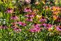 Купить «Цветы эхинацеи в саду (Caneflower - Echinacea)», фото № 28325640, снято 27 июля 2014 г. (c) Ольга Сейфутдинова / Фотобанк Лори