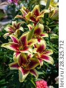Купить «ЛилияОТ-гибрид в саду», фото № 28325712, снято 3 августа 2014 г. (c) Ольга Сейфутдинова / Фотобанк Лори