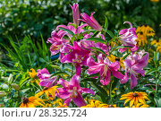 Купить «ЛилияОТ-гибрид в саду», фото № 28325724, снято 3 августа 2014 г. (c) Ольга Сейфутдинова / Фотобанк Лори