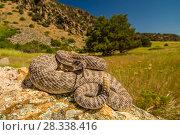 Купить «Prairie Rattlesnake (Crotalus viridis) sunbathing, Bozeman, Montana, USA.», фото № 28338416, снято 22 сентября 2018 г. (c) Nature Picture Library / Фотобанк Лори