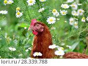 Купить «Red chicken in camomiles in nature», фото № 28339788, снято 16 июля 2016 г. (c) Володина Ольга / Фотобанк Лори
