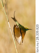 Купить «Green bee-eater (Merops orientalis) taking off to catch prey, Bandhavgarh National Park, Madya Pradesh, India.», фото № 28339820, снято 15 августа 2018 г. (c) Nature Picture Library / Фотобанк Лори