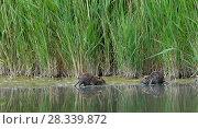Купить «Coypu (Myocastor coypus) in water, Camargue, France, May. Introduced species.», фото № 28339872, снято 24 мая 2018 г. (c) Nature Picture Library / Фотобанк Лори
