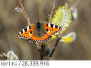 Купить «Tortoiseshell butterfly (Aglais urticae) on pussy willow (Salix caprea) flower, Bavaria, Germany, March.», фото № 28339916, снято 27 апреля 2018 г. (c) Nature Picture Library / Фотобанк Лори