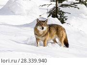 Купить «Wolf (Canis lupus) in snow, Bavarian Forest National Park, Bavaria, Germany, captive», фото № 28339940, снято 16 июля 2018 г. (c) Nature Picture Library / Фотобанк Лори