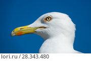 Купить «big seagull close up portrait», фото № 28343480, снято 21 февраля 2018 г. (c) Михаил Коханчиков / Фотобанк Лори