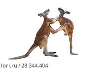 Купить «Два дерущихся красных кенгуру на белом фоне изолировано», фото № 28344404, снято 9 апреля 2018 г. (c) Наталья Волкова / Фотобанк Лори