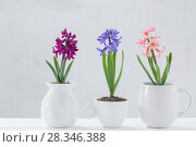 Купить «hyacinth in pot on white background», фото № 28346388, снято 22 апреля 2018 г. (c) Майя Крученкова / Фотобанк Лори