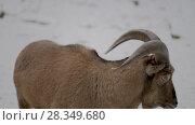 Купить «Barbary sheep (Ammotragus lervia)», видеоролик № 28349680, снято 28 декабря 2017 г. (c) BestPhotoStudio / Фотобанк Лори