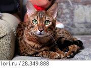 Купить «Очаровательный бенгальский кот на диване», фото № 28349888, снято 30 апреля 2018 г. (c) Яна Королёва / Фотобанк Лори