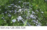 Купить «Forget-me-nots Myosotis flowers on a forest glade in sunny day», видеоролик № 28350724, снято 24 февраля 2010 г. (c) Куликов Константин / Фотобанк Лори