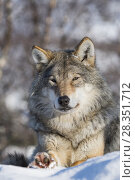 Купить «Gray wolf (Canis lupus) resting in the snow at a wildlife park in northern Norway.», фото № 28351712, снято 12 марта 2018 г. (c) age Fotostock / Фотобанк Лори