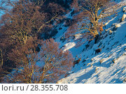 Купить «Red deer (Cervus elaphus) stags climbing snowy slope among centuries-old beech trees. Central Apennines, Abruzzo, Italy, February.», фото № 28355708, снято 21 июня 2018 г. (c) Nature Picture Library / Фотобанк Лори