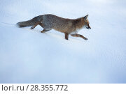 Купить «Red fox (Vulpes vulpes) walking in snow. Central Apennines, Molise, Italy, February.», фото № 28355772, снято 18 августа 2018 г. (c) Nature Picture Library / Фотобанк Лори