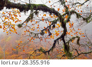 Купить «Centuries-old beech tree branch in autumn covered in lichens and mosses in old-growth forest of Abruzzo National Park, Italy.», фото № 28355916, снято 24 мая 2018 г. (c) Nature Picture Library / Фотобанк Лори