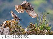 Купить «European Lanner falcon (Falco biarmicus feldeggi) prey exchange between adult male and larger female. Central Apennines, Italy, April.», фото № 28355932, снято 20 августа 2018 г. (c) Nature Picture Library / Фотобанк Лори