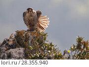 Купить «European Lanner falcon (Falco biarmicus feldeggi) adult male stretching. Central Apennines, Italy, April.», фото № 28355940, снято 20 августа 2018 г. (c) Nature Picture Library / Фотобанк Лори