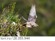 Купить «Lanner falcon (Falco biarmicus) adult female taking off. Central Apennines, Italy, April.», фото № 28355944, снято 20 августа 2018 г. (c) Nature Picture Library / Фотобанк Лори