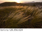 Купить «Sunset light on fairy grass (Stipa sp.) with Gran Sasso mountains in background. Gran Sasso National Park, Abruzzo, Italy, June 2012.», фото № 28356024, снято 23 мая 2018 г. (c) Nature Picture Library / Фотобанк Лори