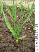 Купить «Молодое растение чеснока, крупный план», фото № 28357188, снято 1 мая 2018 г. (c) Александр Романов / Фотобанк Лори