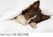 Купить «Beautiful Border Collie dog lying on a bed under blanket», фото № 28362648, снято 26 апреля 2018 г. (c) Алексей Кузнецов / Фотобанк Лори