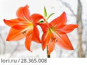 Купить «Гиппеаструм красный (Hippeastrum)», фото № 28365008, снято 21 февраля 2015 г. (c) Алёшина Оксана / Фотобанк Лори