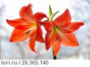 Купить «Гиппеаструм красный (Hippeastrum)», фото № 28365140, снято 21 февраля 2015 г. (c) Алёшина Оксана / Фотобанк Лори