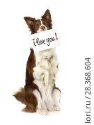 "Купить «Collie border dog with card ""I love you"" over white», фото № 28368604, снято 26 апреля 2018 г. (c) Алексей Кузнецов / Фотобанк Лори"