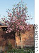 Купить «Цветущая магнолия Суланжа, взрослое дерево», фото № 28369056, снято 25 апреля 2018 г. (c) Ирина Водяник / Фотобанк Лори