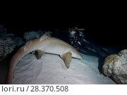 Купить «Female scuba diver watching Tawny nurse shark (Nebrius ferrugineus) at night», фото № 28370508, снято 25 марта 2018 г. (c) Некрасов Андрей / Фотобанк Лори