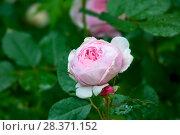 Купить «Розовая роза с бутонами на зеленом фоне сада», фото № 28371152, снято 6 июля 2017 г. (c) Татьяна Белова / Фотобанк Лори
