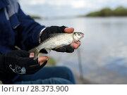 Купить «Только что пойманная каспийская вобла в руках рыбака на фоне реки», эксклюзивное фото № 28373900, снято 21 апреля 2018 г. (c) Игорь Низов / Фотобанк Лори