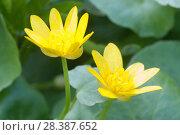 Чистяк весенний, цветы. Стоковое фото, фотограф Александр Курлович / Фотобанк Лори