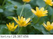 Купить «Чистяк весенний, цветы», фото № 28387656, снято 3 мая 2018 г. (c) Александр Курлович / Фотобанк Лори