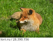 Купить «Red fox (Vulpes vulpes) lies on green grass», фото № 28390156, снято 8 мая 2018 г. (c) Валерия Попова / Фотобанк Лори