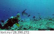 Купить «Scuba divers look at sharks and rays at night. Tawny nurse sharks (Nebrius ferrugineus) and Pink whipray (Himantura fai), Indian Ocean, Maldives», видеоролик № 28390272, снято 27 марта 2018 г. (c) Некрасов Андрей / Фотобанк Лори