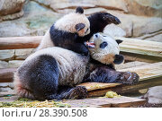 Купить «Giant panda female Huan Huan playing with her cub (Ailuropoda melanoleuca). Yuan Meng, first Giant panda ever born in France, now aged 8 months, Beauval Zoo, France», фото № 28390508, снято 27 мая 2019 г. (c) Nature Picture Library / Фотобанк Лори
