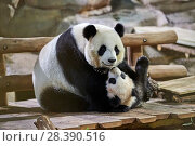 Купить «Giant panda female Huan Huan playing with her cub (Ailuropoda melanoleuca). Yuan Meng, first Giant panda ever born in France, now aged 8 months, Beauval Zoo, France», фото № 28390516, снято 27 мая 2019 г. (c) Nature Picture Library / Фотобанк Лори