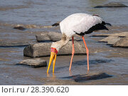 Купить «Yellow-billed stork (Mycteria ibis), fishing, Masai-Mara game reserve, Kenya,», фото № 28390620, снято 12 июля 2020 г. (c) Nature Picture Library / Фотобанк Лори