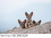 Купить «Black-backed jackal (Canis mesomelas) three cubs at the den, Masai-Mara Game Reserve, Kenya», фото № 28390624, снято 6 июня 2020 г. (c) Nature Picture Library / Фотобанк Лори