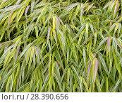 Купить «Japanese forest grass (Hakonechloa macra) 'Aureola'», фото № 28390656, снято 16 июля 2018 г. (c) Nature Picture Library / Фотобанк Лори
