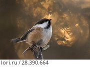 Купить «Siberian tit (Poecile cinctus) with bokeh effect, Jokkmokk, Sweden, November.», фото № 28390664, снято 27 мая 2018 г. (c) Nature Picture Library / Фотобанк Лори