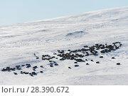 Купить «Wild Reindeer (Rangifer tarandus). Forollhogna National Park in February. Norway.», фото № 28390672, снято 24 августа 2019 г. (c) Nature Picture Library / Фотобанк Лори