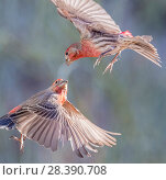 House finches (Carpodacus mexicanus) aerial territorial fight,  Santa Catalina Mountain foothills, Sonoran Desert. Arizona, USA. November. Small repro only. Редакционное фото, фотограф Jack Dykinga / Nature Picture Library / Фотобанк Лори