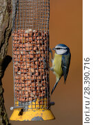 Купить «Blue tit (Parus caeruleus) perched on a bird feeder, Gloucestershire, UK, February.», фото № 28390716, снято 27 мая 2018 г. (c) Nature Picture Library / Фотобанк Лори