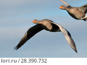 Купить «Two Greylag geese (Anser anser) in flight overhead, Gloucestershire, UK, November.», фото № 28390732, снято 7 июля 2020 г. (c) Nature Picture Library / Фотобанк Лори