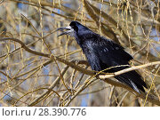 Купить «Rook (Corvus frugilegus) calling while perched in a Willow tree, Gloucestershire, UK, February.», фото № 28390776, снято 23 сентября 2018 г. (c) Nature Picture Library / Фотобанк Лори