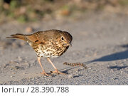 Купить «Song thrush (Turdus philomelos) manipulating hairy caterpillar prey on a road side, throwing it down repeatedly before eating it, Cornwall, UK, April.», фото № 28390788, снято 22 мая 2018 г. (c) Nature Picture Library / Фотобанк Лори